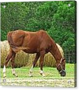 Peacefully Grazing Acrylic Print