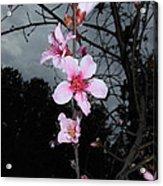 Peach Blooms Acrylic Print