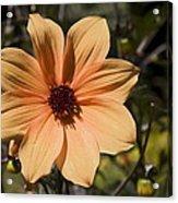 Peach Flower Acrylic Print