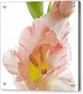 Peach Flushed Gladiolus Acrylic Print