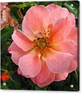 Peach Rose Acrylic Print