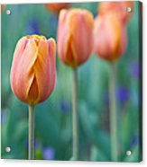 Peach Tulips  Square Format Acrylic Print
