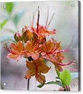 Peachy Alabama Azalea Acrylic Print