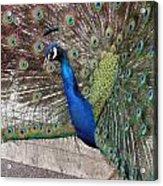 Peacock - 0014 Acrylic Print