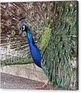 Peacock - 0015 Acrylic Print