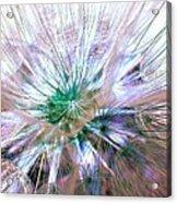 Peacock Dandelion - Macro Photography Acrylic Print