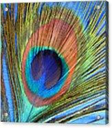 Peacock Glory Acrylic Print