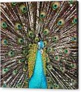 Peacock Plumage Feathers Acrylic Print
