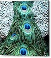 Peacock Plume Acrylic Print