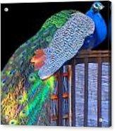Peacock Poses Acrylic Print