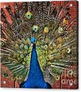 Peacock Tails Acrylic Print