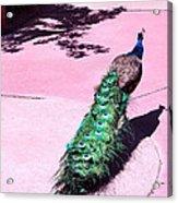 Peacock Walk Acrylic Print