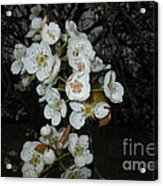 Pear Blooms And Tree Acrylic Print