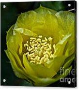 Pear Cactus Flower Acrylic Print