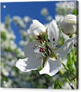 Pear In Bloom Acrylic Print