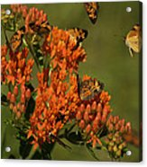 Pearly Crescentpot Butterflies Landing On Butterfly Milkweed Acrylic Print