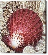 Pecten Scallop Shell Acrylic Print