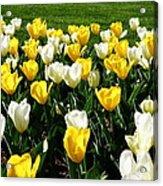 Peddler's Tulip 2012 3 Acrylic Print