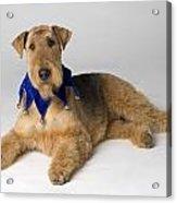 Pedigree Dog Acrylic Print