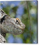 Peek-a-boo Lizard Acrylic Print