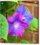 Peek-a-boo Morning Glories Acrylic Print