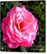 Peek-a-boo Rose Square Acrylic Print