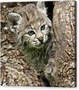 Peeking Out - Bobcat Kitten Acrylic Print