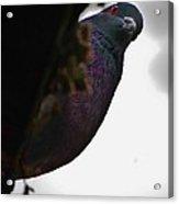 Peeking Pigeon Acrylic Print by DigiArt Diaries by Vicky B Fuller