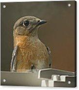 Peeping Bluebird Acrylic Print