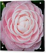 Pefectly Pink Acrylic Print