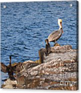 Pelican And Cormorants Acrylic Print