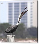Pelican Attitude Acrylic Print