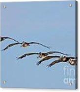 Pelican Crew In Flight Acrylic Print