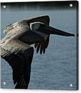 Pelican Fly By Acrylic Print