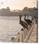 Pelican Gang Acrylic Print