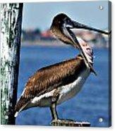 Pelican II Acrylic Print