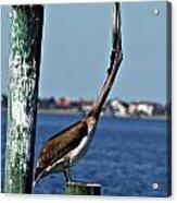 Pelican IIi Acrylic Print