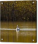 Pelican On Golden Pond Acrylic Print