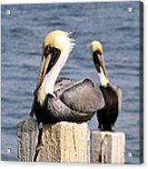 Pelican Pair Acrylic Print
