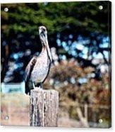 Pelican Perched Acrylic Print