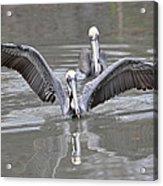 Pelican Span Acrylic Print