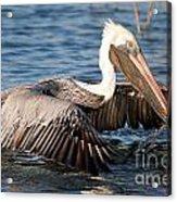 Pelican Take Off Acrylic Print