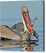 Pelican With Catch Acrylic Print
