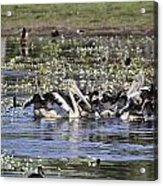 Pelicans At Knuckey Lagoon Acrylic Print