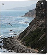 Pelicans Colony Flying Over Cliff Acrylic Print