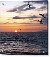 Pelicans Diving At Sunset Acrylic Print