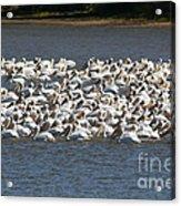 Pelican's Feeding Acrylic Print