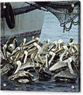 Pelicans Float In Water Near A Shrimp Acrylic Print