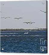 Pelicans In Line Acrylic Print