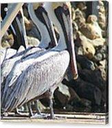 Pelicans Of Keaton Beach Canal Acrylic Print